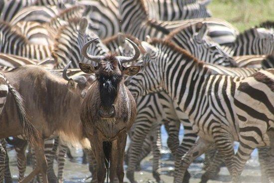 Gran migración Safari 2019