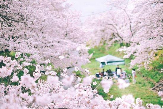Cherry-blossom Fiesta