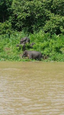 Kinabatangan Riverside Lodge: Pygmy elephants on the Kinabatangan River