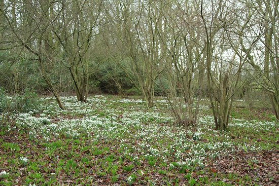 Carpet Of Snowdrops Picture Of Rode Hall And Gardens Rode Heath