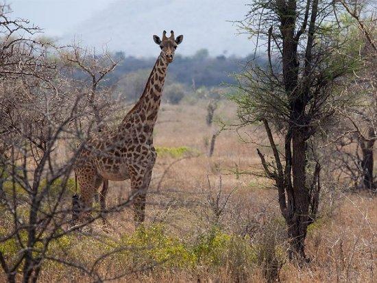 Mkomazi Game Reserve, Tanzanija: Giraffe