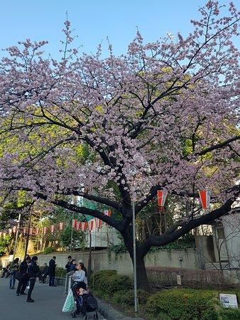 Japonsko: 벗꽃
