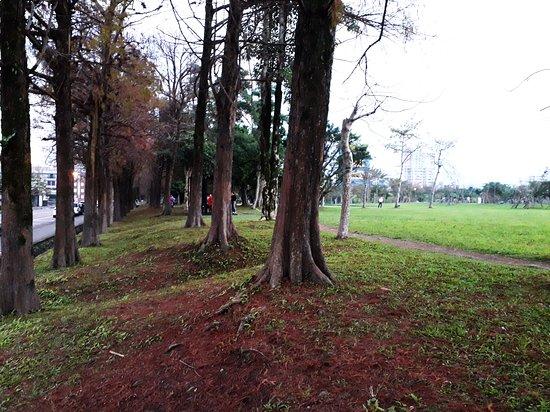 羅東運動公園:落羽松一景