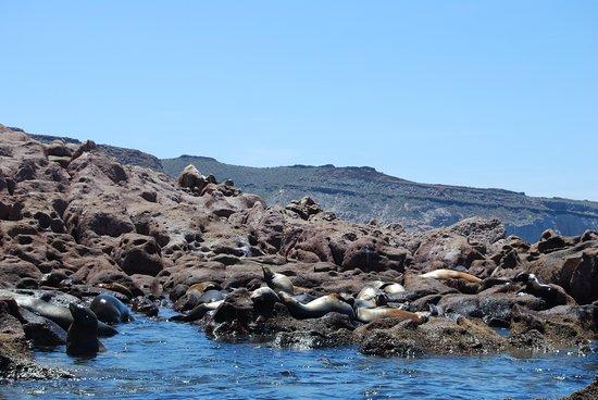 Isla Spiritu Santo, La Paz, Baja California, Messico: foche si crogiolano al sole.