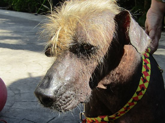 Sandos Caracol Eco Resort: One of the hairless mexican dogs