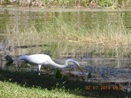 1-Hour Airboat Tour on Lake Panasoffkee: Local Egret hunting fish