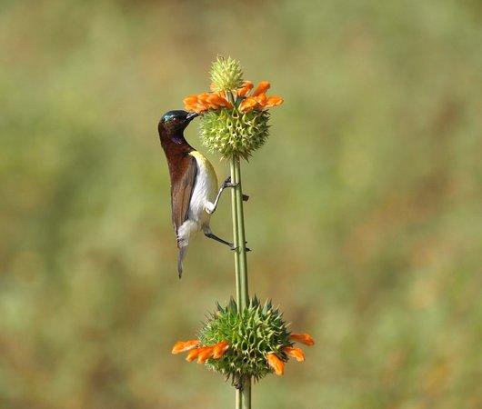 Srí Lanka: Sunbird in Yala National Park