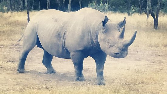 Nanyuki Municipality, Kenia: Baraka, the blind Black rhino at OlPejeta Conservancy, best place to be!