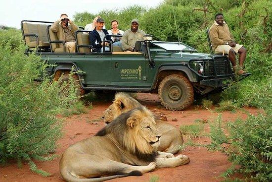 Lion and Cheetah Walk