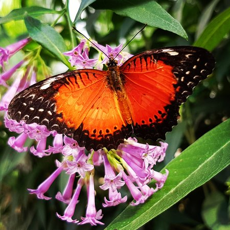 Butterfly Jungles Experience & Garden Plant Centre: Red Lacewing butterfly