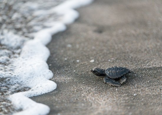 El Viejo, Nicaragua: Our turtle hatchery is located right on the resort grounds and we have hatched and released over 30,000 turtles since inception