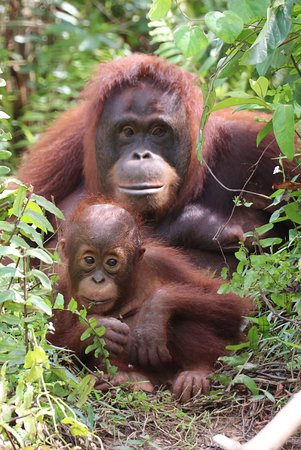 East Kalimantan, Indonesia: Orangutans at Samboja Lestari - Indonesian Borneo