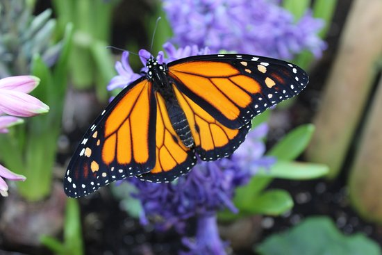 Butterfly Jungles Experience & Garden Plant Centre: Beautiful tropical monarch butterfly.