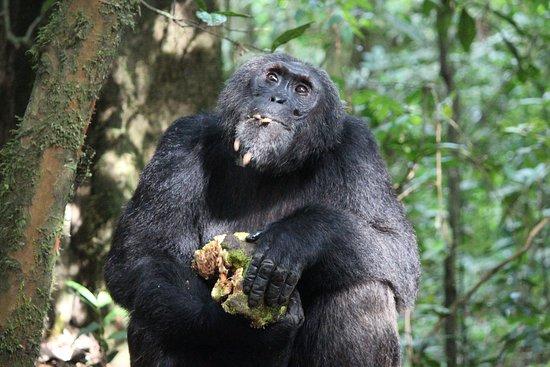 gute Lage für Schimpansen Tracking