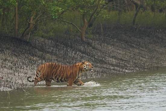 Khulna Division, Bangladesh: Royal Bengal Tiger at Sundarban, World Largest Mangrove Forest,Bangladesh