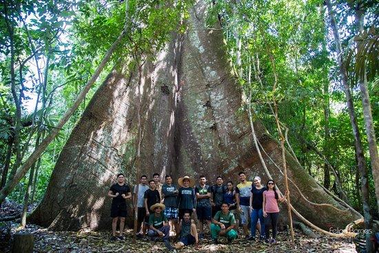 Belterra, PA: O projeto Caminhos da Floresta levou mais um grupo de trilheiros pra conhecer a majestosa Vovozona. A Samauma gigante da Amazônia. São 7 kms para ir e 7 kms para voltar.