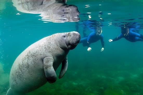 Florida Keys, FL: We do get close to manatees. But we never touch. It's magical when we get to see them underwater in their habitat.