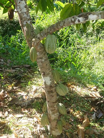Stann Creek, Belize : Cacao pods grow directly from the trunk of the tree.
