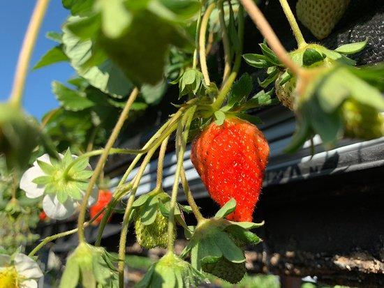 幸福菓子草莓園