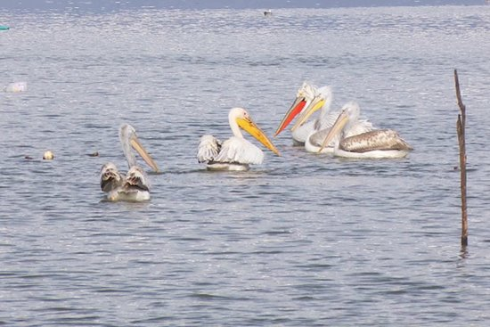 Kerkini lake in Northern Greece is the famous bird-watching destination and has a big population of Dalmation Pelicans.