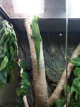 Sakhalin Zoo: Геккон