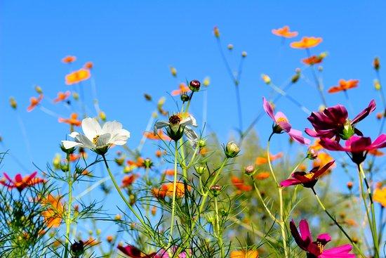 Province of Mendoza, الأرجنتين: Los Cosmos son nuestras flores favoritas y es por ello que la finca lleva su nombre