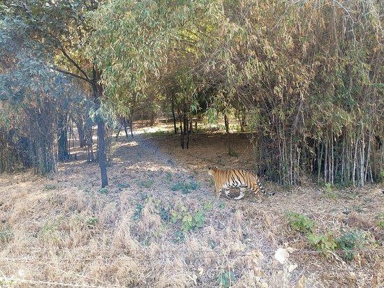 Tiger roaming around - Picture of Van Vihar National Park