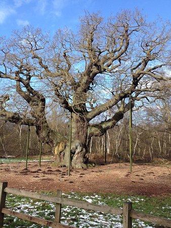 Nottinghamshire, UK: Robin Hood - The Major Oak