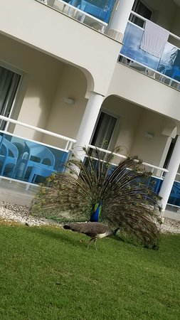 There were peacocks!
