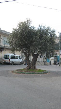 Beit Jann, Israel: כיכר עם עץ זית בדרך לצימר בצל הדובדבן