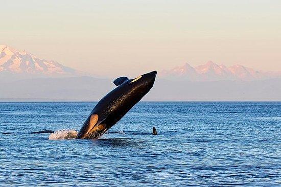 3 timers hvalsurtur