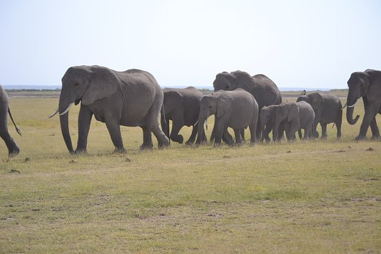 Amboseli National Park, Kenia: hard of Elephants