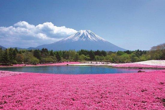 Pink Moss Phlox Festival,Mt Fuji 5th...