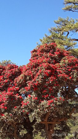 Mount. Victoria ( Nat Ma Taung) and Rhododendron Flowers, Kanpetlet, Chin State. @ Kanpetlet
