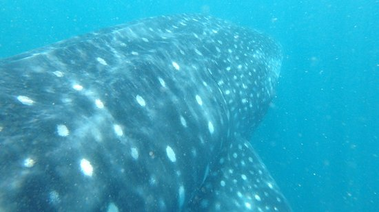 Donsol Whale Shark Interaction - 2019 All You Need to Know