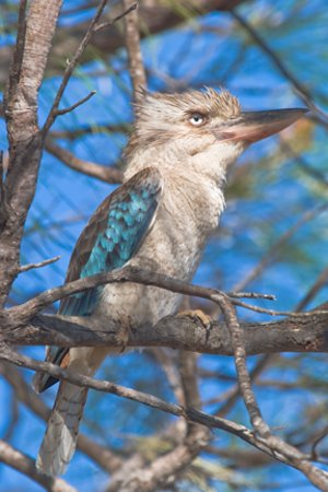 Walkamin, Australië: Blue-winged kookaburra