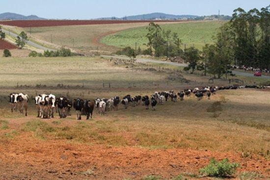 Atherton Tablelands, Australia: Cows coming home