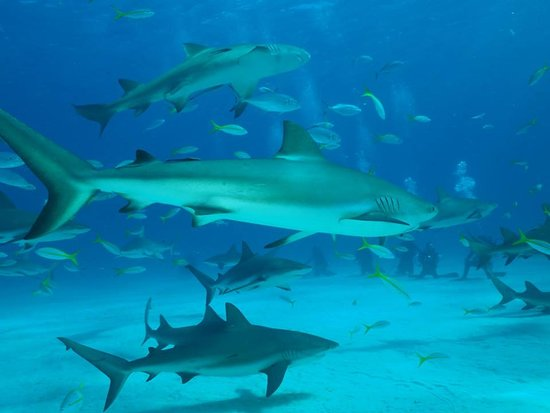 🌅 Bahamas es un paraíso para los amantes de los tiburones. Con unas condiciones de temperatura y visibilidad óptimas y con diferentes tipos de escualos, desde los tiburones caribeños de arrecife, hasta el gran tiburón tigre o el tiburón martillo gigante, lo convierten en un puro oasis de vida...Te vienes a conocerlo? Contacta con nosotros y empezamos a preparar tu aventura.