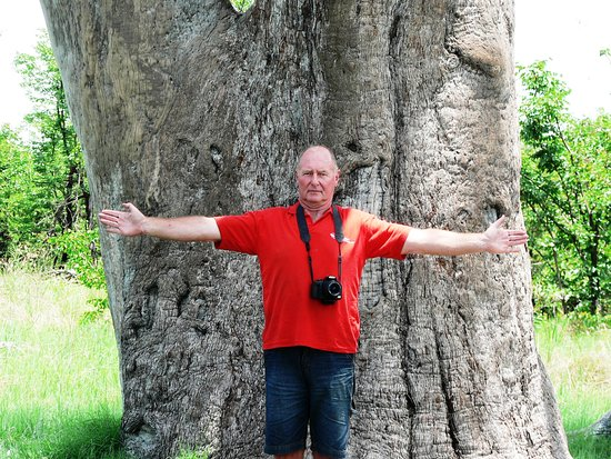 The Leadwood Tree in NATA, Botswana. [Combretum imberbe] is part of the family Combretaceae, at least 250 species, and most of the species in the combretum family are small to medium sized trees. The leadwood tree is one of the largest trees in Africa, reach a hight of 20meters.