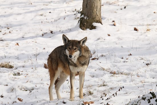 Endangered Wolf Center (Eureka) - 2019 All You Need to Know