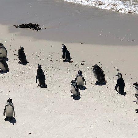 Boulders Beach Penguin Colony-billede
