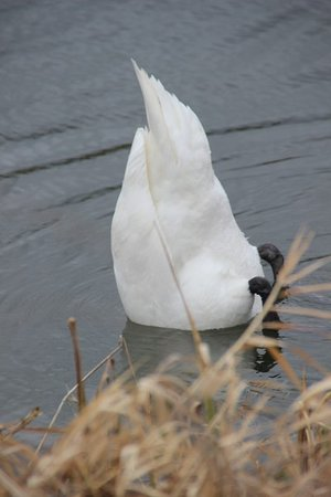 Caen Hill Cafe: Swan getting some food