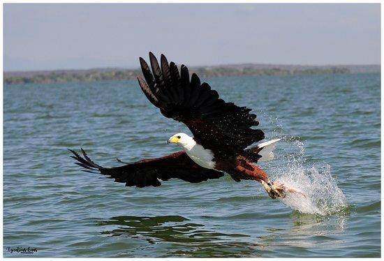 Lake Baringo: African Fish Eagle