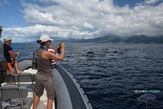 Cetaces Caraibes