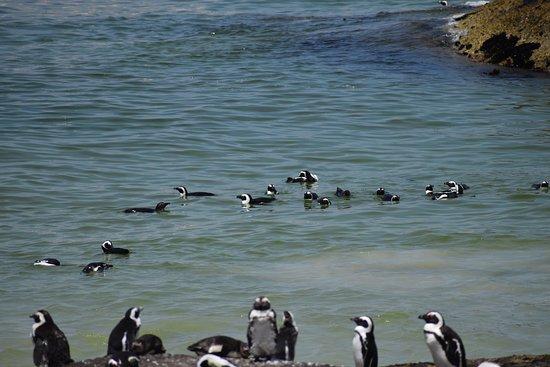 Boulders Beach Penguin Colony: Penguins swimming