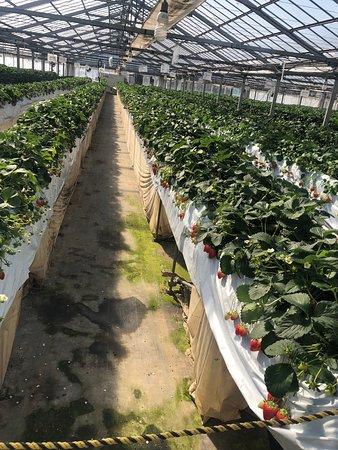 Tokue Strawberry Farm