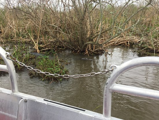 New Orleans Airboat Ride: A little hard to see, but this gator was over 9 foot!