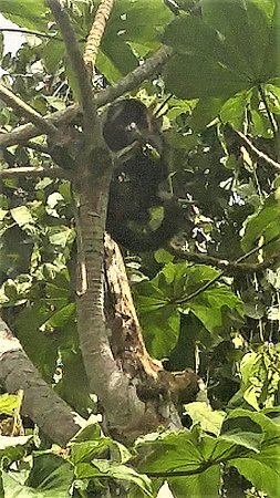 Ian Anderson's Caves Branch Jungle Lodge: Howler monkeys swing from trees near your accommodations
