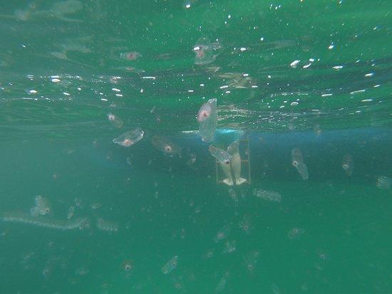 Gita di un giorno a Khasab, penisola del Musandam e crociera in sambuco da Dubai: Baby jellyfish (not poisonous) of course