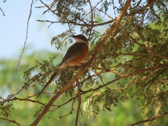 White-throated Barbler (Myanmar Endemic) Bagan , Central Myanmar Bird Watching in Myanmar